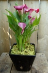 Calla Plant Arrangement