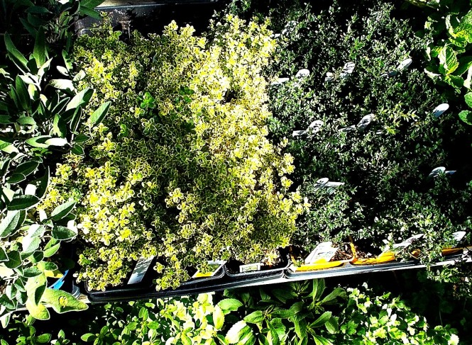 Thyme as seen from above